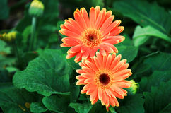 Orange gerbera flowers Royalty Free Stock Photos