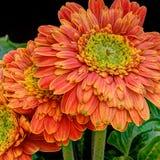 Orange gerbera flowers. Macro view of orange gerbera flowers in bloom with black background Royalty Free Stock Photography