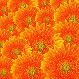 Orange gerbera flowers background Stock Images