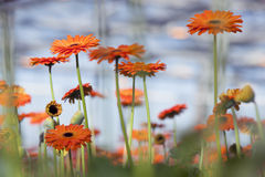 Orange gerbera flowers with blue background Stock Photos