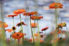 Orange gerbera flowers with blue background Stock Photos