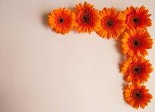 Orange gerbera flowers royalty free stock photo
