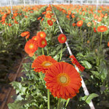 Orange gerbera flowers in greenhouse Stock Photo
