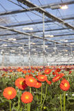 Orange gerbera flowers in greenhouse Royalty Free Stock Photo