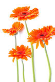Orange gerbera flowers on white Stock Image