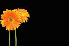 Orange Gerbera-Gänseblümchen auf schwarzem Hintergrund Stockbild