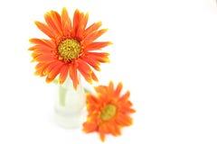 Orange Gerberablume lokalisiert auf Weiß Lizenzfreie Stockfotografie