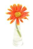 Orange Gerberablume lokalisiert auf Weiß Stockfoto