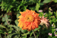 Orange Gerbera. In the garden Stock Image