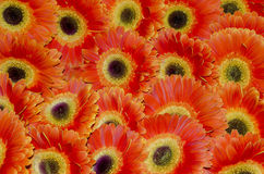 Orange  Gerbera. Gerbera is a genus of plants in the (daisy family). It was named in honour of German botanist and medical doctor Traugott Gerber| (1710-1743) Royalty Free Stock Photo