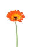 Orange gerbera . Gerbera jamesonii. Stock Photos