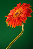 Orange gerbera on green backgound Royalty Free Stock Photography