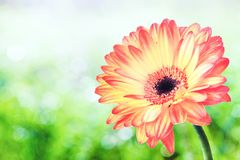 Orange gerbera on green grass. Bright orange gerbera flower on a green grass bokeh background with clipping path. Closeup. Design for invitations, greeting cards royalty free stock image