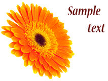 Orange gerbera isolated Royalty Free Stock Images