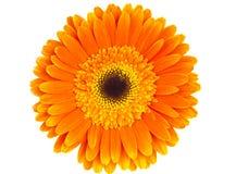 Orange gerbera isolated Royalty Free Stock Image