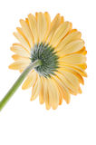 Orange gerbera isolated Royalty Free Stock Image