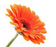 Orange Gerbera  isolated with dots Stock Photo