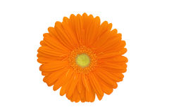 Orange Gerbera Isolated On White Stock Images