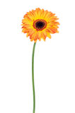 Orange gerbera isolated Stock Photography