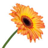 Orange gerbera isolated Stock Images