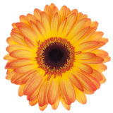 Orange gerbera isolated Royalty Free Stock Photo
