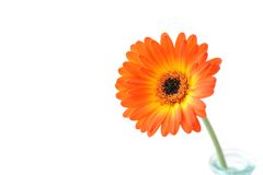 Orange gerbera . Macro. Gerbera jamesonii. Royalty Free Stock Photos