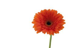Orange gerbera. Macro. Royalty Free Stock Image