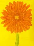 Orange Gerbera, malend Stockfotos