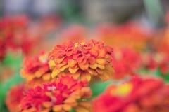 Orange Gerbera mit Schönheit Lizenzfreies Stockfoto