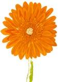 Orange gerbera, painting Royalty Free Stock Photos