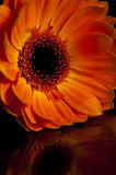 Orange Gerbera. A picture of an orange Gerbera flower with reflection Royalty Free Stock Photos
