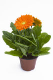 Orange Gerbera Plant Royalty Free Stock Photos