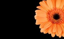 Orange Gerbera-Schwarz-Hintergrund Lizenzfreie Stockbilder