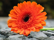 Orange Gerbera on Shale. Orange gerbera on garden shale. Macro shot using very shallow depth of field Stock Photos