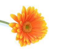 Orange gerbera Royalty Free Stock Photo