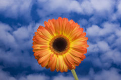 Orange Gerbera and Sky. A bright orange and yellow gerbera on a green stem fronting a sky and cloud background Royalty Free Stock Photos