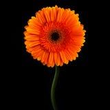 Orange gerbera with stem isolated on black background Stock Images