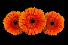 Orange gerbera with stem isolated on black background Royalty Free Stock Image