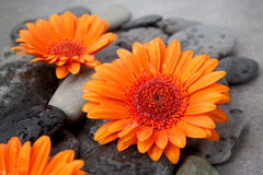 Orange gerbera with therapy stones on gray surface Stock Photography