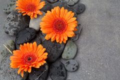 Orange gerbera with therapy stones on gray surface Royalty Free Stock Photography