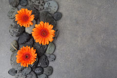 Orange gerbera with therapy stones on gray surface Stock Photos