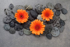 Orange gerbera with therapy stones on gray surface. Flat lay. Top view Stock Images