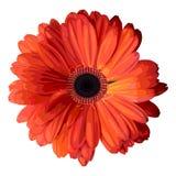 Orange gerbera. Royalty Free Stock Images