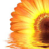 Orange gerbera in water Royalty Free Stock Image