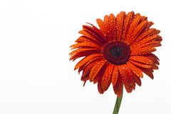 Orange gerbera with water drops on a white background Stock Photography
