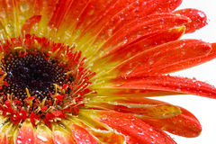 Orange gerbera on white Stock Image