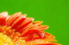 Orange gerberablomma med vattendroppar Arkivbild