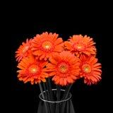 Orange Gerberablume im Vase auf schwarzem Hintergrund Stockbild