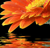 Orange Gerberagänseblümchen auf dem schwarzen Hintergrund Stockbild