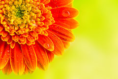 Orange Gerberagänseblümchenblume auf gelbem Hintergrund Lizenzfreies Stockfoto